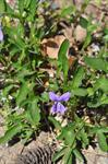 Viola delphiniifolia